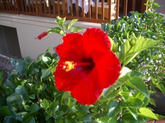 bong-hibiscus